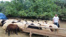 Pendik Çamlık Adak Kurban Satış Yeri