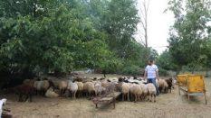 Ümraniye Çamlık Adak Koyun Satış Yeri