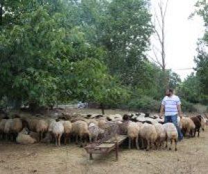 Üsküdar Emek Semti Adak Koyun Satış Yeri