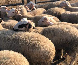 Pendik Orta Adak Koyun Satış Yeri